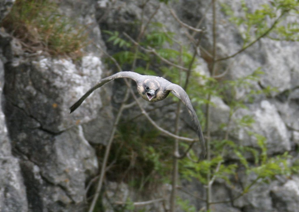 One of Malham's peregrine falcons in flight