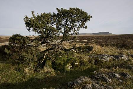 A juniper bush, one of many on Moughton's strange landscape