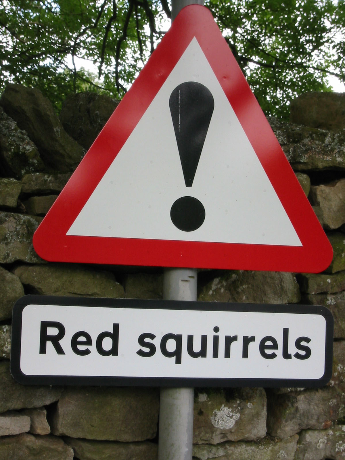 Red squirrels are thriving in Widdale