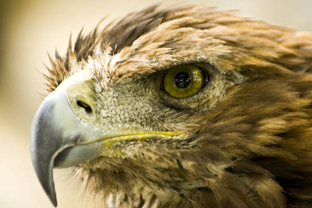 A golden eagle. Photo: Maurice Koope CC-BY-ND-2.0