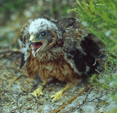 A hen harrier chick
