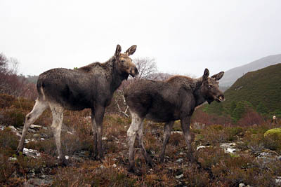 The male and female elk on the Scottish estate