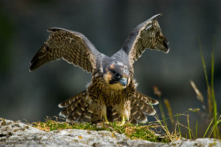 A peregrine falcon chick at the Malham Cove site. Photo: Neil Aldridge
