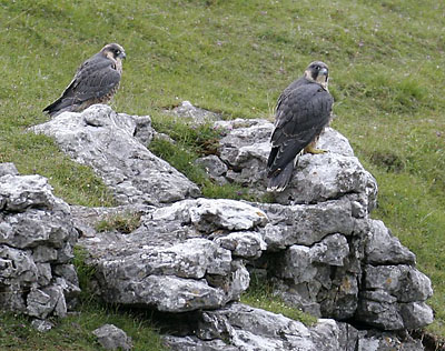 Peregrines Clint and Gryke at Malham