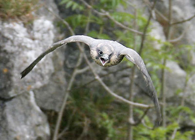 Peregrine falcon Clint in flight