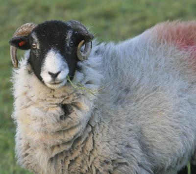 Sheep are vulnerable to attack by dogs