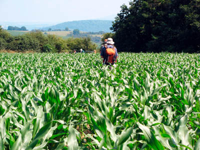 Maize blocks the Shropshire Way between Kempton and Hopesay