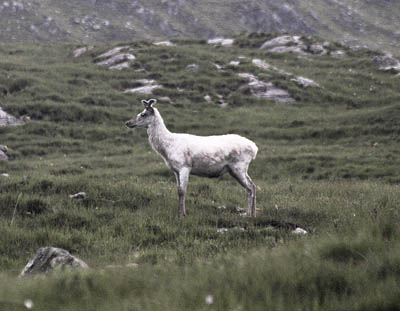 The white stag, caught on camera by Fran Lockhart