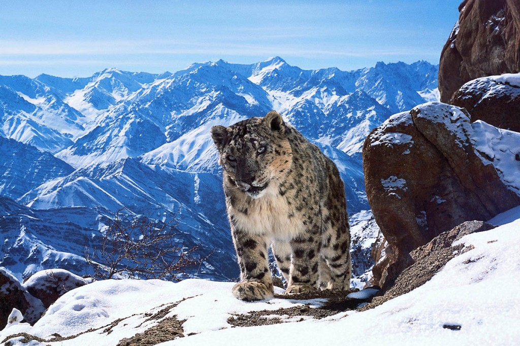 A snow leopard, one of only 3,500 thought to be left in the wild. Photo: David Willis/BBC