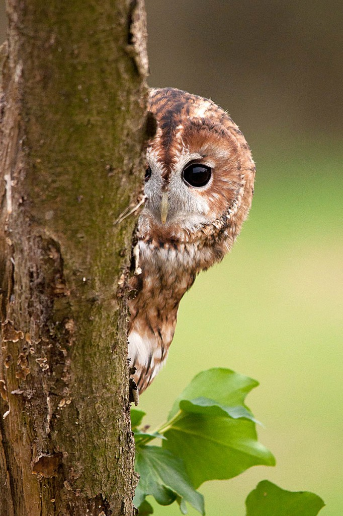 Tawny owls are thought to be in decline. Photo: Howard Stockdale/BTO