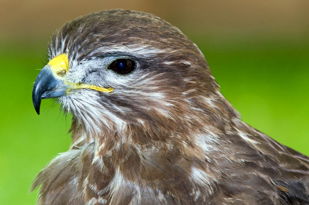 Buzzards are a protected species. Photo: Lorne Gill/Scottish Natural Heritage