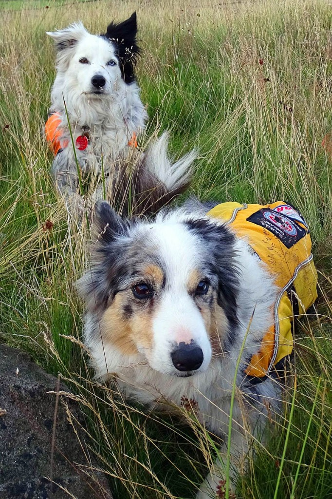 Search dogs Nell, left, and Pepper. Photo: CVSRT