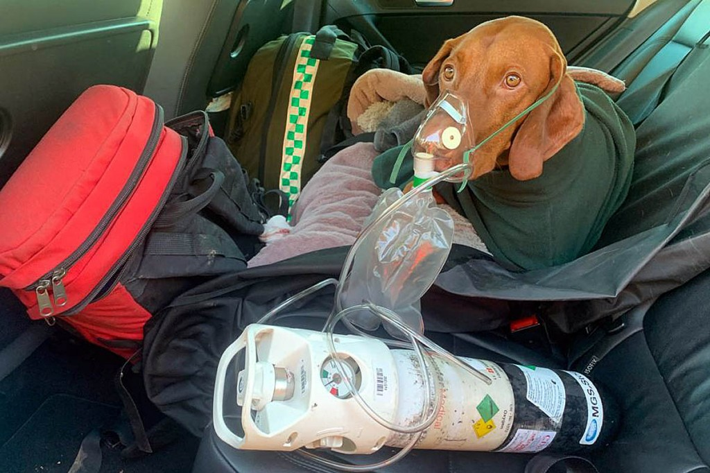 Walter receives oxygen on his way to the vet's. Photo: Edale MRT