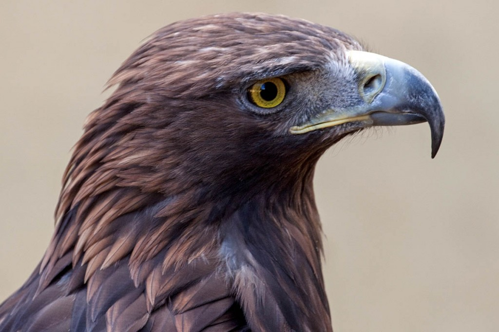 Golden eagles are among species targeted in wildlife crime in Scotland. Photo: Tony Hisgett CC-BY-2.0