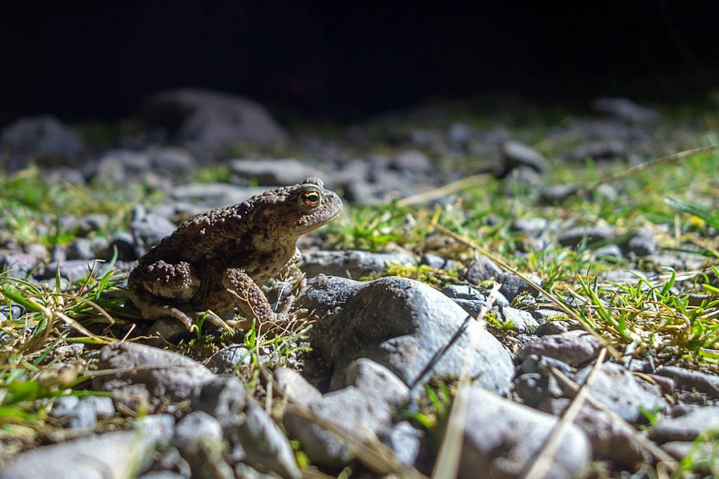 The stretcher party encountered an amphibian on the descent from Sty Head. Photo: Keswick MRT