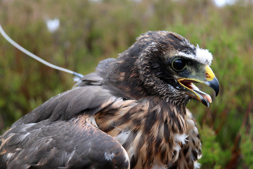 Hen Harrier Calluna's tag stopped transmitting when she was over a grouse moor