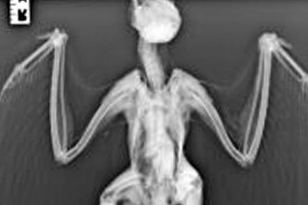 An x-ray revealed the buzzard had been shot. Photo: North Yorkshire Police