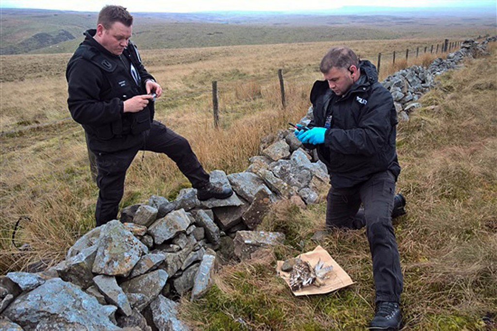 Police officers recover the body of one of the shot birds. Photo: RSPB