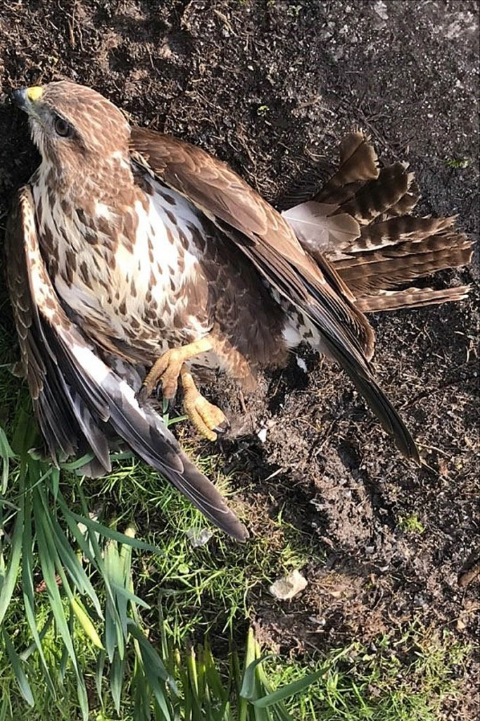 The buzzard was seen falling from a tree. Photo: North Yorkshire Police