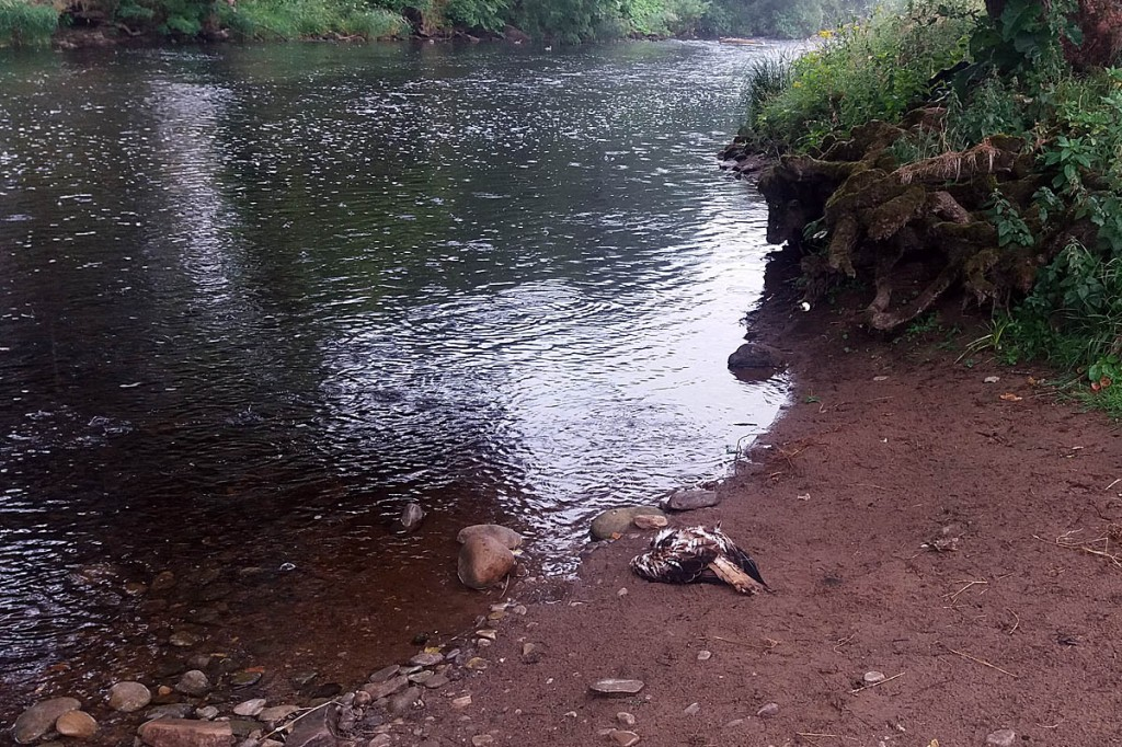 The red kite's body was found beside the Wharfe near The Strid. Photo: North Yorkshire Police
