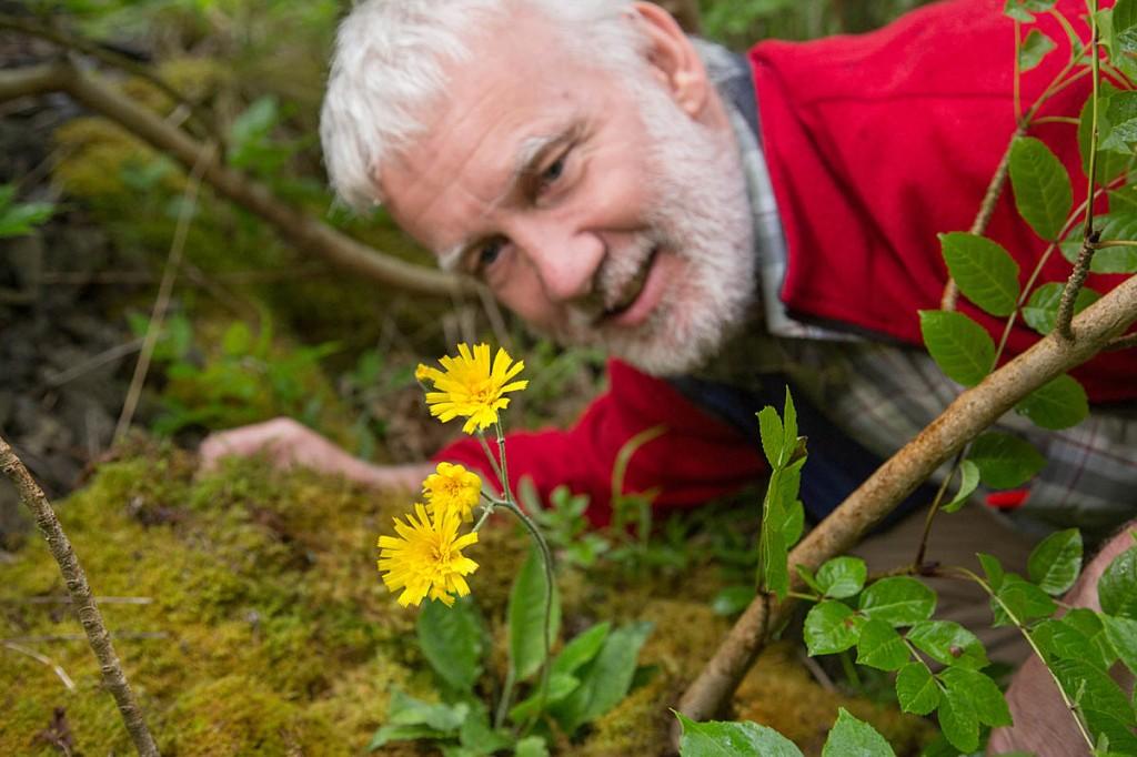 Rhodri Thomas examines the leek-coloured hawkweed. Photo: Alex Hyde/Peak District NPA