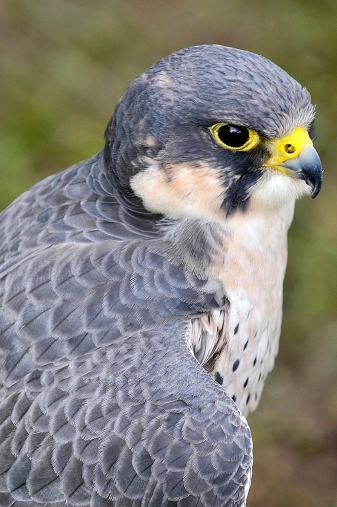Peregrine falcons are protected by law