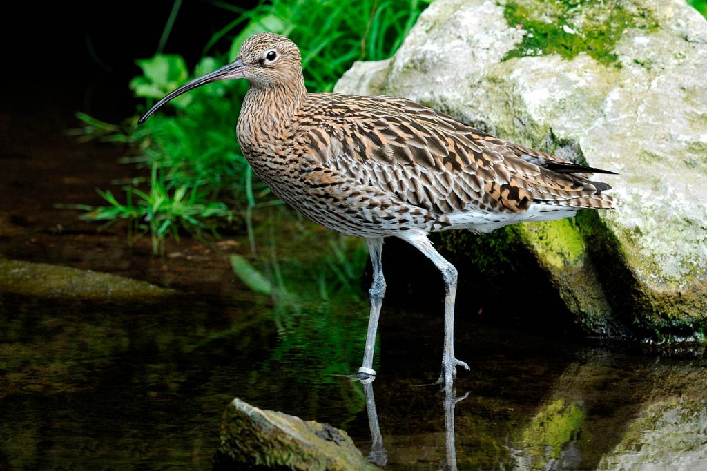 Ground-nesting birds such as curlew are particularly vulnerable to dogs running free or on long leads