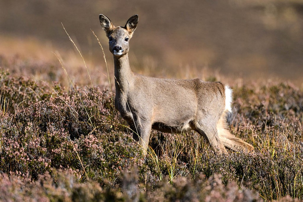 The risk of colliding with deer increases at this time of year. Photo: Lorne Gill/SNH