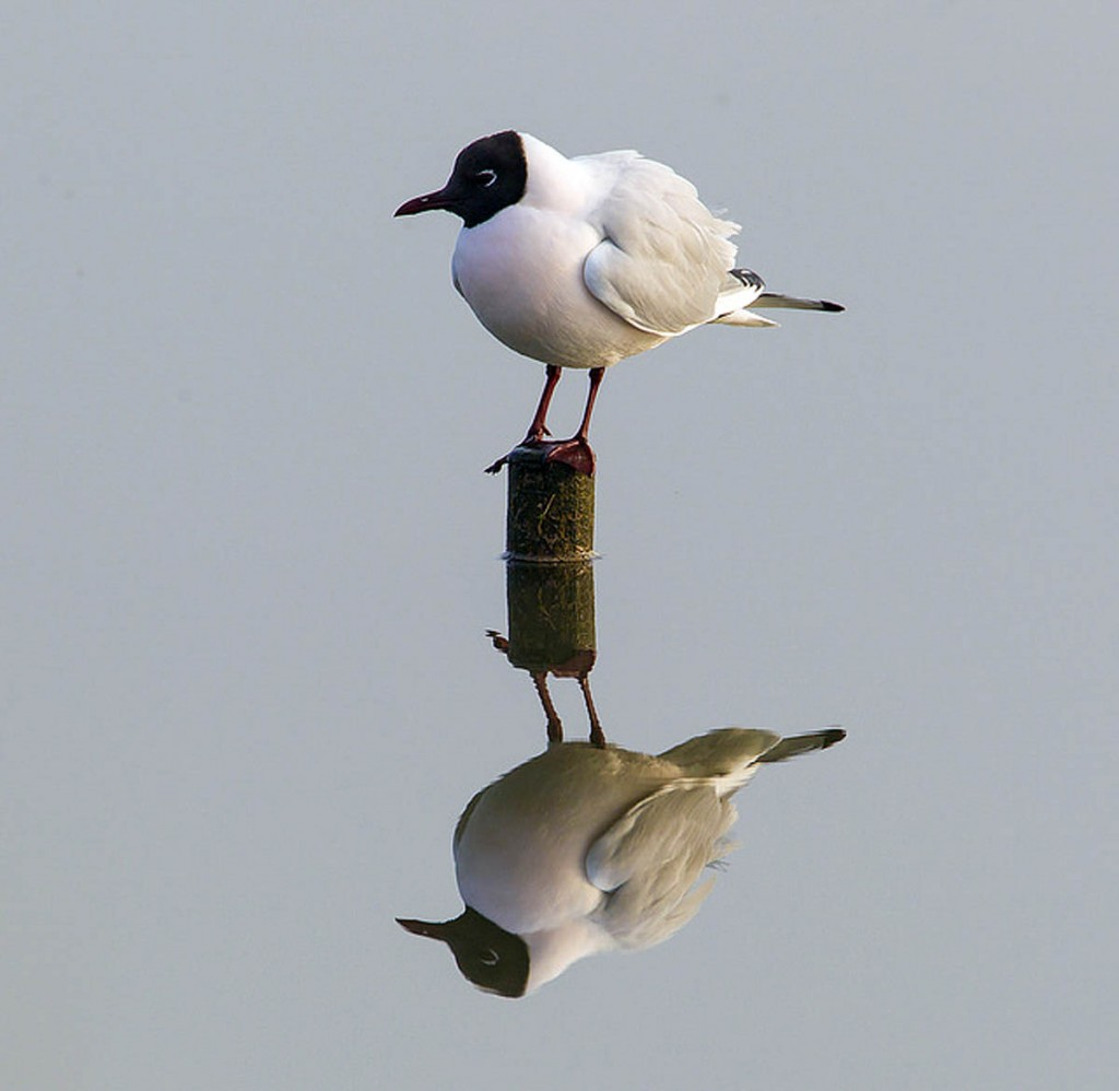 Black-headed gulls breed in the area