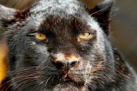 A black leopard. Photo: Tambako the Jaguar CC-BY-ND-2.0