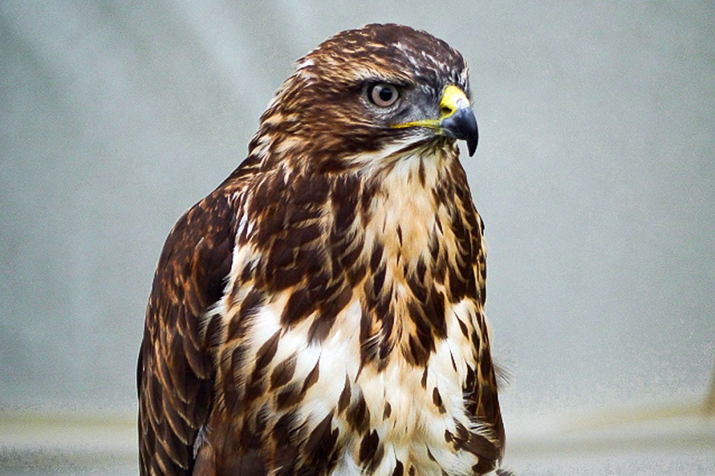 Police believe the traps were targeted at raptors such as the buzzard. Photo: David Dixon CC-BY-SA-2.0