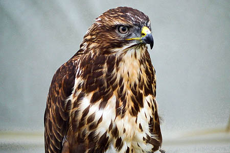 Shooting a buzzard is an offence, police said. Photo: David Dixon CC-BY-SA-2.0