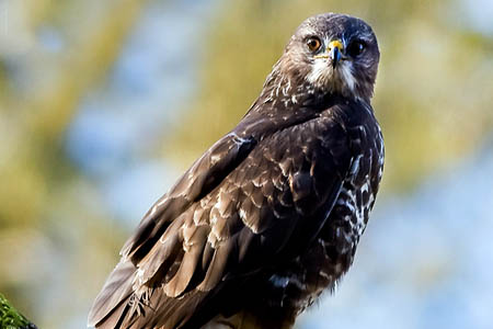 Police said it is an offence to kill or harm a buzzard. Photo: Mark Medcalf CC-BY-2.0