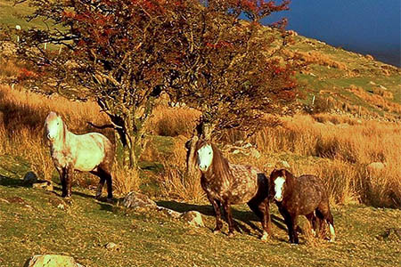 The Carneddau ponies have an important role in the area's biodiversity