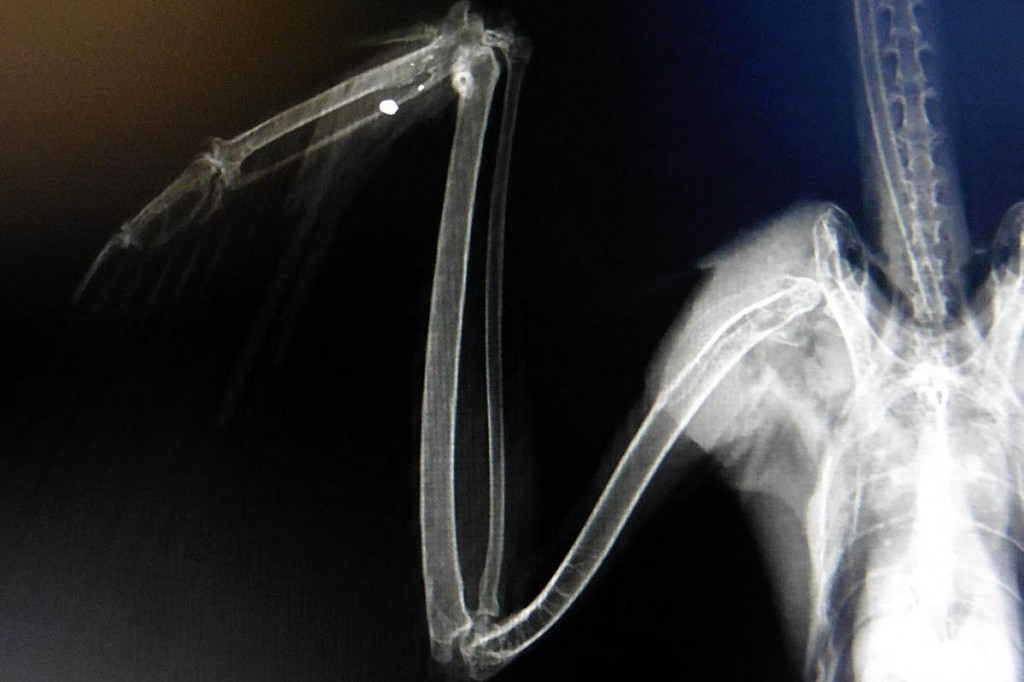 An x-ray of the bird revealed its wing had been shot. Photo: Cumbria Constabulary