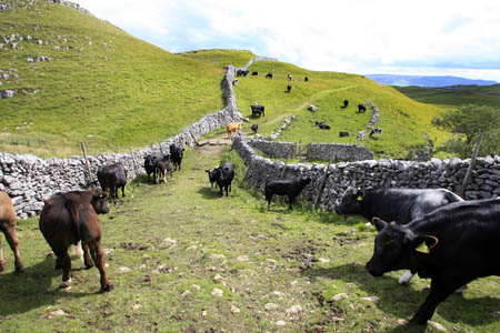 Cattle pictured last year on the Dales Way between Grassington and Kettlewell