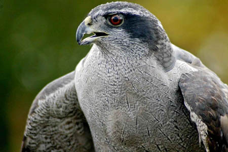 Mutch was seen in the footage to kill a goshawk