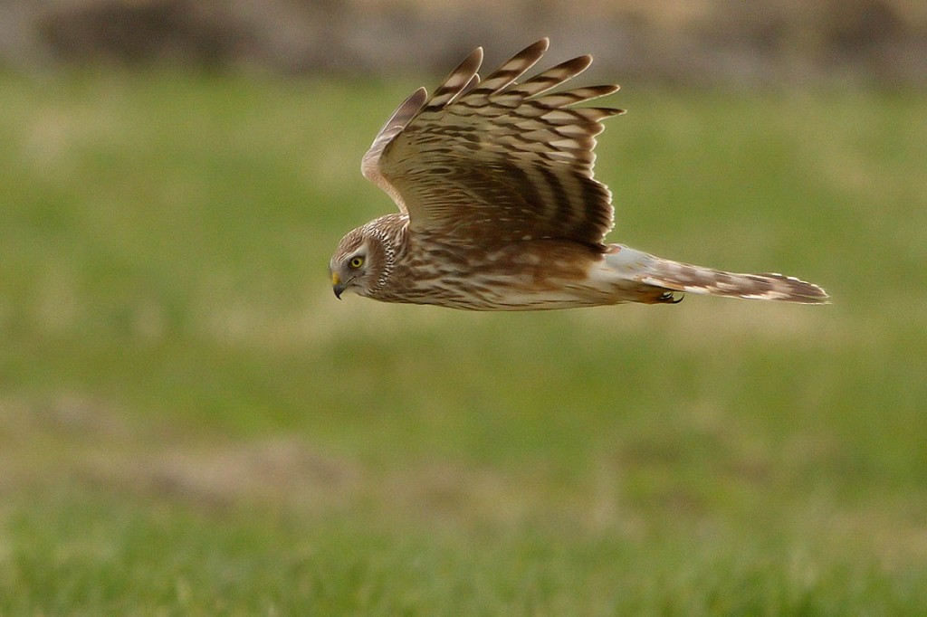 Five hen harriers have been lost in northern England. Photo: Bernard Stam CC-BY-SA-2.0