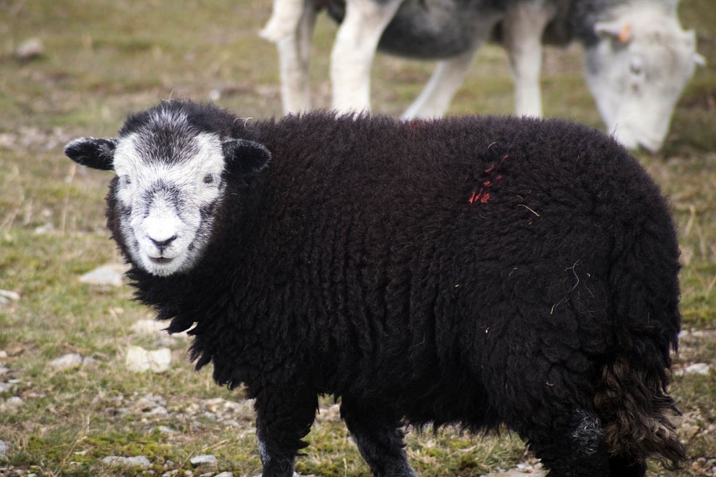 The men fled a pair of sheep