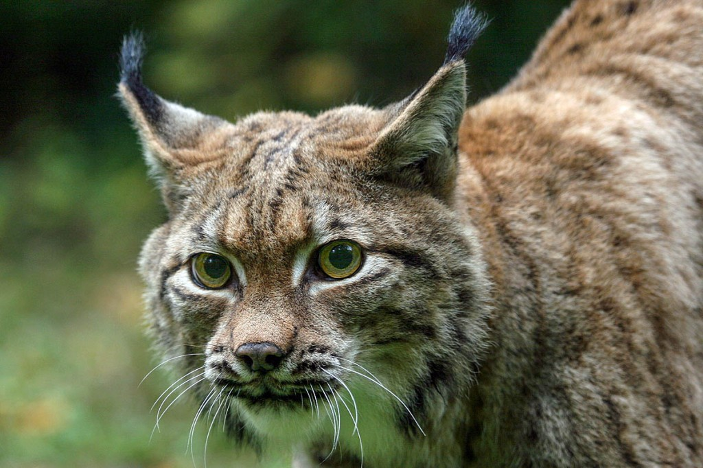 The trust would like to lynx in Scotland within five years. Photo: Elchhaus CC-BY-SA-3.0