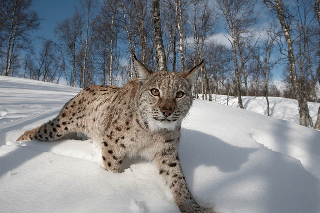 A female lynx in a Norwegian forest. Photo: Peter Cairns/Northshots/scotlandbigpicture