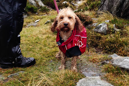 Spaniel Molly was among those rescued from Tryfan's North Face. Photo: Ogwen Valley MRO