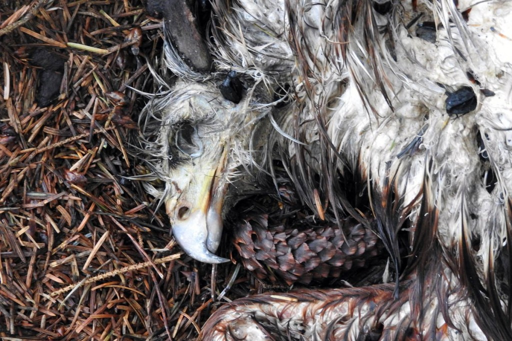 The dead kite was found close to the scene of another wildlife crime. Photo: North Yorkshire Police