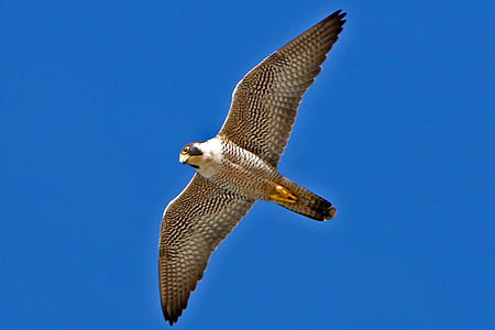 Peregrine falcons are a protected species. Photo: Mike Baird CC-BY-2.0
