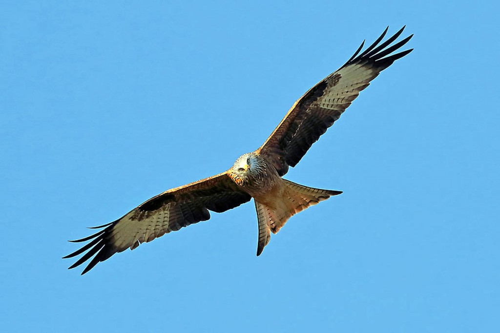 Red kites have been successfully reintroduced to areas of Britain. Photo: Walter Baxter CC-BY-SA-2.0