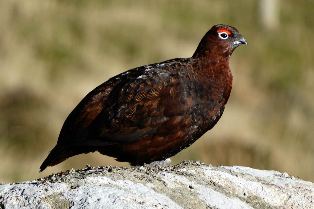 Red grouse numbers are down in many areas. Photo: Neil Theasby CC-BY-SA-2.0