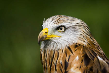 A red kite. Five bodies were found within a week. Photo: Brian Scott CC-BY-2.0