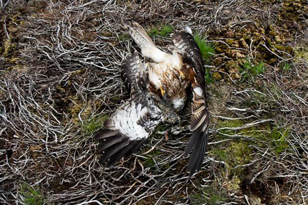 The dead red kite