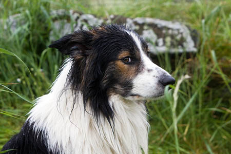 Bill Batson's search dog Glen, looking damp in the Cleveland rain