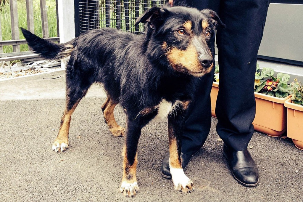 The dog, found on England's highest peak, has been named Scafell and is in the care of the SSPCA